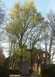 Zwei Großbäume als Rahmenpflanzung hinter einem Ehrenmahl (Kaiserpfalz Kaiserswerth)