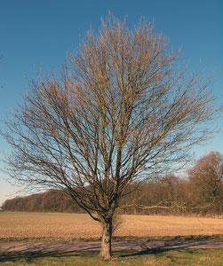 Kleinbaum mit Stamm in einer Schutzpflanzung, Winteraspekt