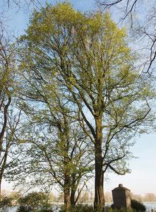 Anpassung der Kronen zweier Großbäume (Kaiserpfalz Kaiserswerth) Frühjahrsaspekt