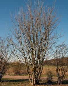 Mehrstämmiger Großstrauch in einer Schutzpflanzung, Winteraspekt