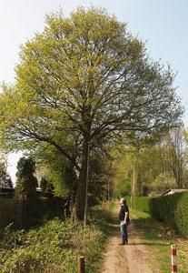 Großer Feld-Ahorn mit ausgeprägtem Stamm und hoch angesetzter Krone im Freistand. Stammumfang 2 Meter