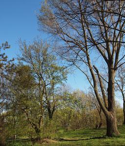 Durch Schattendruck einer großen Pappel schräg gewachsener Baum (links), Frühjahrsaspekt