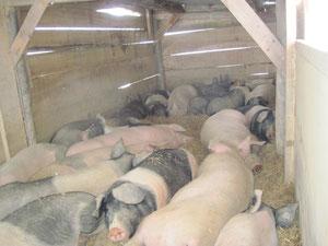 Freilandschweine in der Weidehütte: Trotz Minus 15° im Freien scheinbar recht gemütlich ...