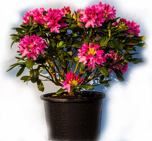 Rododendron obtusum _Madam van Hecke_