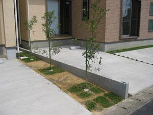 植栽も常緑樹のシマトネリコ