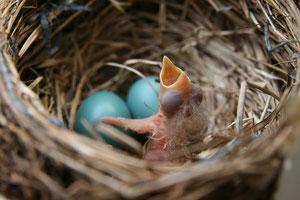 New born Robin via Wikipedia