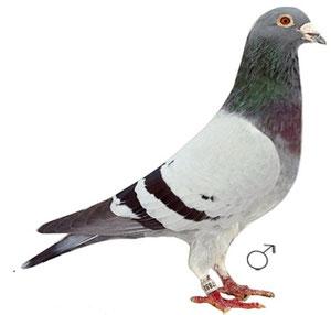 NL-04 / 2097888 Blauer Vogel Bruder zu Olympiaduif, Kaanibaal & Kerkduifje von Kees Bosua.
