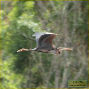 Purple Heron - Garça-vermelha Ardea purpurea