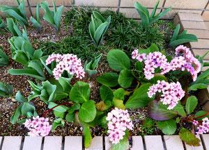 教室の花壇に咲くヒマラヤユキノシタ