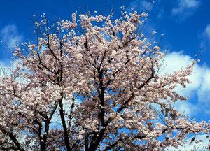 教室近くの桜