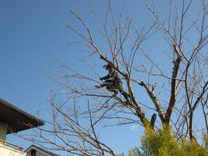桜の支障枝剪定