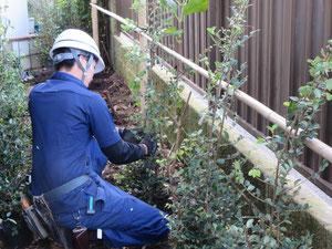 トキワマンサクの植栽工事