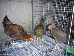 Grupito de posibles reproductores con pata blanca, habrá que esperar tres meses para comprobar el desrrollo de la cresta y otras particularidades.