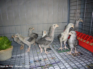 Jovencitos mostrando sus patas blancas junto a otro que tiene pata amarilla y que no será utilizado para reproducción.