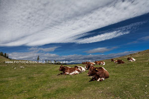 Kärnten, Rinder am Dobratsch (Fotodesign-Wunderlich)