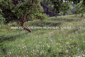 Kärnten, Streuobstwiese im Frühling (Fotodesign-Wunderlich)