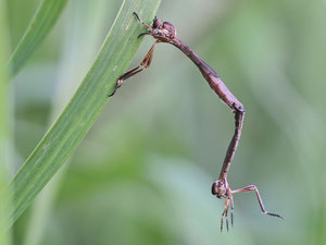 Schlankfliegen scheinen bei der Paarung noch nichts von Geschlechtergerechtigkeit gehört zu haben. Dem Männchen fehlt der Kopf.