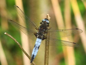 Ein männlicher Spitzenfleck. Der Fleck am Flügelende ist bei den Weibchen deutlich stärker ausgeprägt.