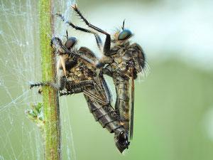Paarung bei den Raubfliegen.