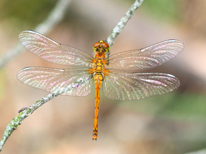 Weibchen der schwarzen Heidelibelle. Die Art ist wenig gendergerecht ausschließlich nach derFarbe des Männchens benannt.