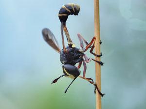 Stielkopffliegen sehen seltsam aus, heissen auch so...