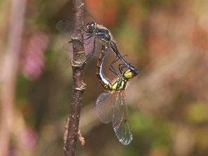 Das Paarungsrad der schwarzen Heidelibellen.