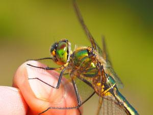 Eine glänzende Smaragtlibelle in Ruheposition. Ob sie den Fotografen wegschleppen wollte ist ungeklärt.