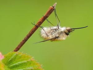 Ein anderer kleiner Wollschweber. Hinter den kleinen Wollies verbergen sich mehrere Arten.