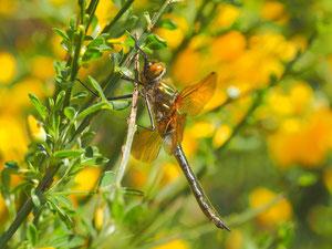 Falkenlibelle im Ginster