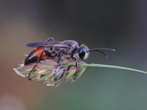 Wildbiene in Schlafhaltung
