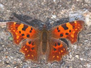 C-Falter sonnt sich. Diese Schmetterlinge verteidigen ihr Revier - sogar gegen Singvögel.