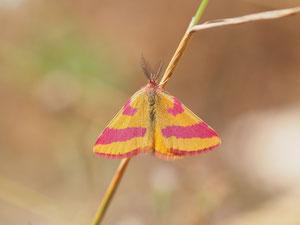Der Ampferpurpurspanner ist so farbenfroh dass er im Schmetterlingspark den tropischen Arten Paroli bieten kann. Er ist allerdings kaum einen Zentimeter gross.