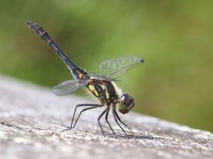Eine schwarze Heidelibelle. Diese Art kommt hauptsächlich in Moorgebieten vor.