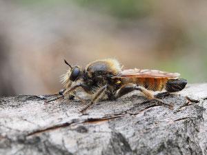 Ein Insekt dessen Namen wenig freundlich klingt ist die gelbe Mordfliege.