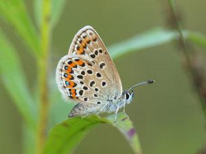 Das Weibchen der Argusbläulinge ist merklich weiter ins Braune gefärbt.