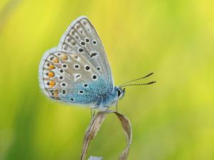 Das Männchen des Hauhechelbläulings. Der unterste Fleck auf dem Vorderflügel ist übrigens das sicherste Erkennungszeichen.