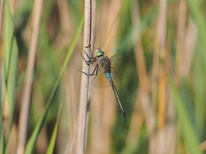 Kleine Königslibelle. Verglichen mit den meisten anderen Libellen immernoch ein großes Tier.