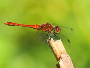 Blutrote Heidelibelle. Wie man leicht sieht das Männchen.