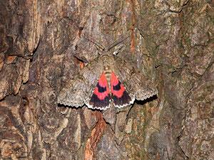 Rotes Ordensband. Das Tier fiel uns buchstäblich vor die Linse. Ohne die geöffneten Flügel hätten wir es sicher nicht gefunden.