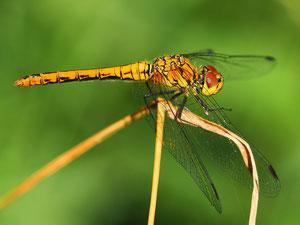 Auch bei der blutroten Heidelibelle ist die Farbe des Männchens namengebend.
