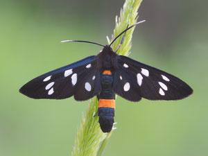 Beim Weissfleckwidderchen passt die Flügelstellung auch nicht zu den anderen Widderchenarten.