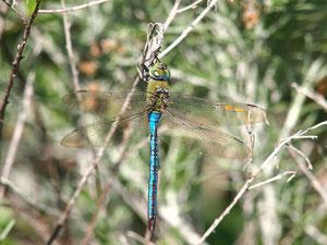 Grosse Königslibelle, Männchen. Aufgenommen auf Teneriffa.
