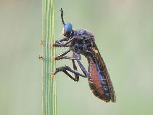 Habichtsfliegenweibchen