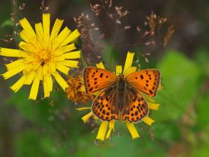 Und das zugehörige Weibchen. Die beiden unterscheiden sich deutlich an der Flügeloberseite.