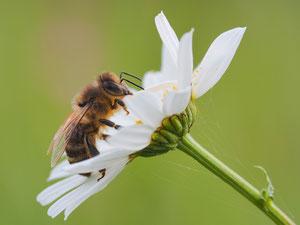 Manchmal übernachten Wildbienen auch mitten im Frühstück.