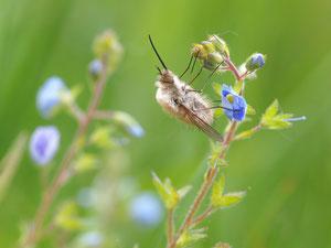 Grösserer Ausschnitt. Wollschweber gehören zu den Schwebfliegen und lassen ihre Eier und Larven von Ameisen betreuen.