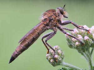 Schlichte Raubfliege. Merkwürdiger Name für ein über 2 cm langes Insekt.