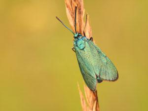 Von Grünwidderchen gibt es mehrere Arten. Am lebenden Tier schwer auseinander zu halten.