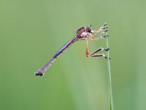Gemeine Schlankfliege, hier ein Männchen. Die Fliegen sind klein und zierlich, auf den ersten Blick leicht zu übersehen.