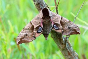 Unter (befürchteter) Bedrohung zeigt das Abendpfauenauge die augenförmige Zeichnung der Unterflügel.